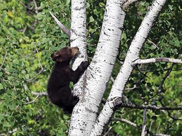 Okwari observation de l'ours noir