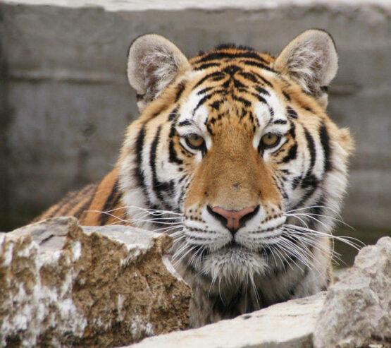 zoo-falardeau-tigre-de-siberie